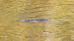 close up of a wild platypus swimming on the surface of the mersey river in tasmania, australia