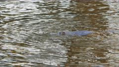 platypus on the surface of a river in tasmania, australia