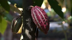 close up of colorful purple cacao pods growing on a tree in ecuador