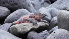 striking red colored marine iguana on isla espanola in the galapagos islands, ecuador