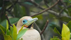close up of the head of a red-footed booby in the galalagos islands, ecuador