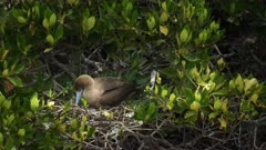 a nesting red footed booby tends to its chick on isla genovesa in the galapagos islands