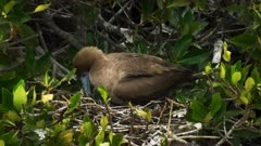 close up of a nesting red red footed booby and young chick at isla genovesa in the galapagos islands