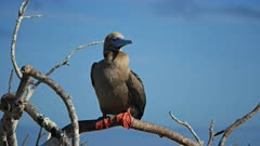 red-footed booby perched on a branch at isla genovesa in the galalagos islands, ecuador