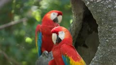 close up of a pair of scarlet macaws resting on a tree in ecuador