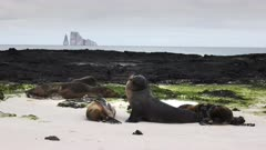sea lions rest on cerro brujo beach on isla san cristobal, with kicker rock in the distance, in the galapagos islands, ecuador
