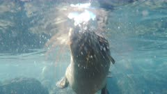 underwater close up of a curious young sea lion at isla south plazas in the galapagos islands, ecuador