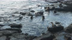wide shot of a sea lion harem in a rock pool at isla south plazas in the galapagos islands, ecuador