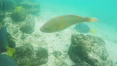 extreme close up of a blue-chin parrot fish at isla genovesa in the galapagos islands, ecuador