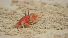 zoom in shot of a ghost crab on a beach at isla san cristobal in the galapagos islands, ecuador