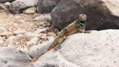 a hood lava lizard sunning itself on a rock at isla espanola in the galapagos islands