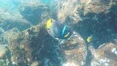 underwater shot of a king angelfish at isla santa fe in the galapagos islands, ecuador