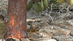 slow zoom in shot of  land iguana and the trunk of a cactus tree in the galapagos islands