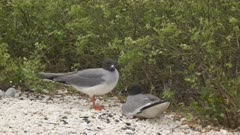 lava gull pair on the beach at isla genovesa in the galapagos islands, ecuador