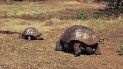 a large male giant tortoise pursues a female on isla santa cruz in the galapagos islands