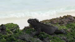 close up of a marine iguana on the shore of isla san cristobal in the galapagos islands