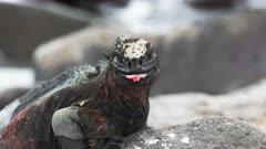 extreme close up of marine iguana opening its mouth on isla espanola in the galapagos islands