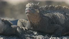extreme close up of the face of a marine iguana on isla santa cruz in the galapagos islands
