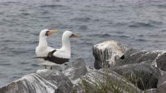 nazca booby pair preening at isla espanola in the galapagos islands, ecuador