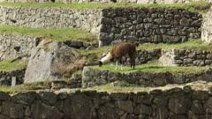 side view of a llama grazing at machu picchu, peru