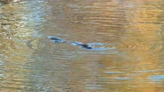 close up of an adult platypus swimming and diving in a river in tasmania, australia