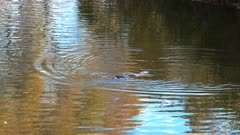 tasmanian platypus swimming in a river with the reflection yellowing autumn trees