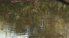 tracking shot of a platypus swimming in a river in tasmania, australia