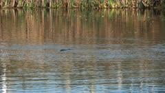 long shot of a wild platypus swimming in a river in tasmania, australia