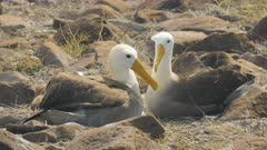 waved albatross in affectionate pose with beaks crossed in the galapagos islands, ecuador