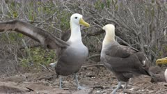 two waved albatross perform their strange mating dance on isla espanola in the galapagos islands