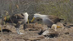 a pair of waved albatross tap beaks in a mating ritual on isla espanola in the galapagos islands
