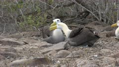 pair of  seated waved albatross tap beaks to bond on isla espanola in the galapagos islands, ecuador