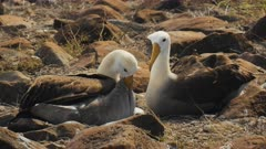 waved albatross pair preening their feathers on isla espanola in the galapagos islands, ecuador