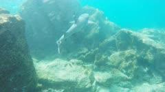 a white-tipped reef shark swims along a reef at isla bartolome in the galapagos islands, ecuador