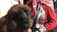 close up of a llama and a peruvian woman at a market in cusco, peru