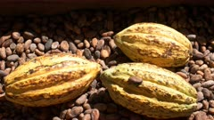 slow zoom in on ripe yellow cacao pods on dried beans in ecuador