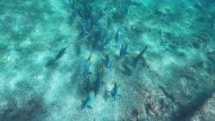high angle shot of a school of yellow-tailed surgeonfish at isla espanola islands, ecuador