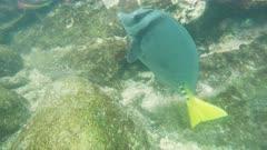 close up of a yellow-tailed surgeonfish at isla genovesa islands, ecuador