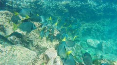 yellow-tailed surgeonfish at isla espanola in the galapagos islands, ecuador