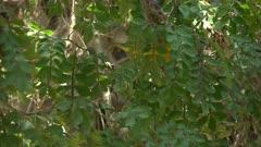 yellow warbler in a tree on santa cruz in the galalagos islands, ecuador