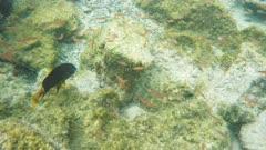 underwater shot of yellowtail damsel at isla bartolome in the galapagos islands, ecuador