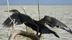 an african darter lake dries its feathers at lake baringo in kenya