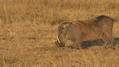 close view of a warthog kneeling to feed in masai mara game reserve, kenya
