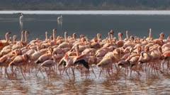 flamingos marching in unison at lake bogoria, kenya