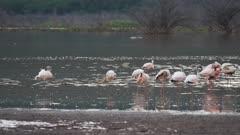 panning shot of lesser flamingos at lake bogoria in kenya