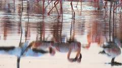 lesser flamingos reflected in the calm waters of lake bogoria in kenya