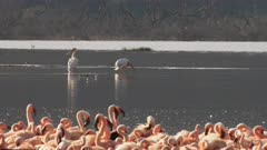 lesser flamingos and great white pelicans at lake bogoria in kenya
