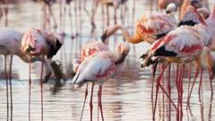 several lesser flamingos preening their feathers at the edge of lake bogoria, kenya