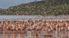 a flock of pink flamingos taking flight at lake bogoria, kenya