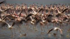 close up of  lesser flamingos taking flight at lake bogoria in kenya